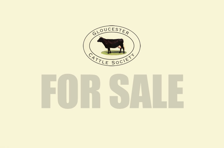 Gloucester Cattle for Sale
